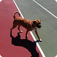 Adopt A Pet :: Butch - Bardonia, NY