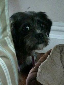 Poodle (Miniature)/Maltese Mix Dog for adoption in N. Babylon, New York - Pepperz