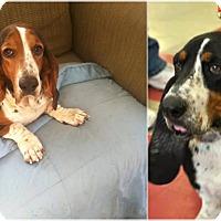 Adopt A Pet :: Chelsea - Shelter Island, NY