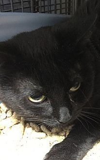 Domestic Shorthair Cat for adoption in Porter, Texas - Nero