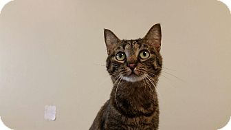Domestic Shorthair Cat for adoption in Maryville, Tennessee - Hazel