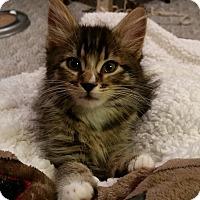 Adopt A Pet :: Kipper - Portland, OR