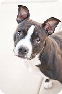 Staffordshire Bull Terrier/Pit Bull Terrier Mix Dog for adoption in Villa Park, Illinois - Carolina