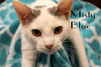 Domestic Shorthair Kitten for adoption in Wichita Falls, Texas - Misty Blue