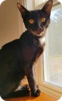 Domestic Shorthair Cat for adoption in Manteo, North Carolina - Poe