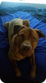 Redbone Coonhound/Rhodesian Ridgeback Mix Dog for adoption in Gilbert, Arizona - Seymour
