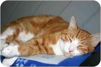 American Shorthair Cat for adoption in Lake Ronkonkoma, New York - Neil
