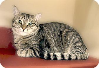 Domestic Shorthair Kitten for adoption in Richmond, Virginia - Brinks