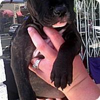 Adopt A Pet :: Pebbles - Cypress, CA