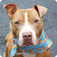 Adopt A Pet :: Adorable BARNEY wigglebutt - Durham, NH