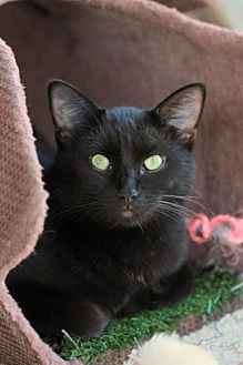 Domestic Mediumhair Cat for adoption in Freeport, Florida - Shamrock