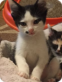 Domestic Shorthair Kitten for adoption in Weatherford, Texas - Pierre