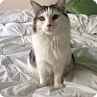 Domestic Mediumhair Cat for adoption in Los Angeles, California - Amber
