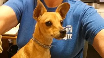 Chihuahua/Terrier (Unknown Type, Medium) Mix Dog for adoption in Lakeport, California - Tigger