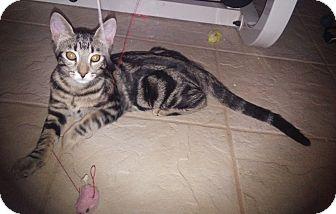 Domestic Shorthair Kitten for adoption in Riverside, California - Frankie