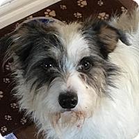 Adopt A Pet :: Griz - McKinney, TX