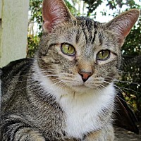 Domestic Shorthair Cat for adoption in Colonial Beach, Virginia - Marvin