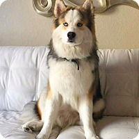 Adopt A Pet :: Blizzard II - Clearwater, FL
