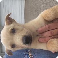 Adopt A Pet :: Shayla - Allentown, PA