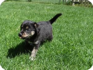Australian Shepherd Mix Puppy for adoption in Marlton, New Jersey - baby Ginger