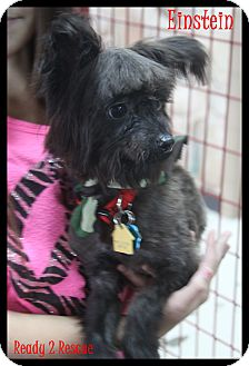 Yorkie, Yorkshire Terrier/Chinese Crested Mix Dog for adoption in Rockwall, Texas - Einstein