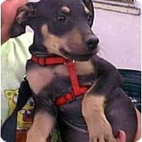 Adopt A Pet :: DeeDee - dewey, AZ