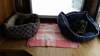 Domestic Mediumhair Cat for adoption in Jefferson, Ohio - Lola & Lucy