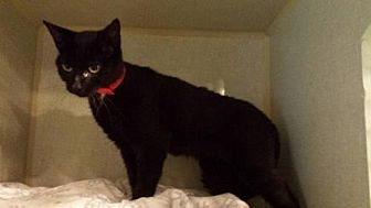 Domestic Shorthair Cat for adoption in Iroquois, Illinois - Darling