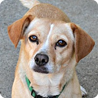 Beagle/Terrier (Unknown Type, Medium) Mix Dog for adoption in Sunnyvale, California - Camille