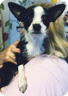 Chihuahua Mix Dog for adoption in Kansas city, Missouri - Larry