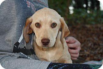 Labrador Retriever/Beagle Mix Dog for adoption in Seneca, South Carolina - Pearl $125