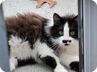 Domestic Mediumhair Cat for adoption in Memphis, Tennessee - Chaplin
