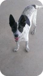 Cattle Dog Mix Dog for adoption in Las Vegas, Nevada - Sunshine