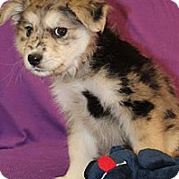 Adopt A Pet :: Foxie - Broomfield, CO