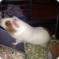 Adopt A Pet :: Jessie - Garden Grove, CA