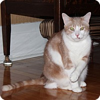 Domestic Shorthair Kitten for adoption in Verdun, Quebec - Puff