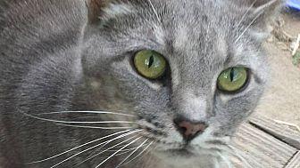 Domestic Shorthair Cat for adoption in Columbia, South Carolina - Joe