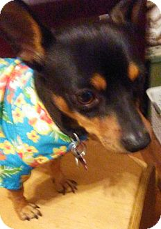 Chihuahua Dog for adoption in Andalusia, Pennsylvania - Oliver