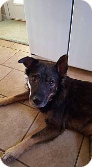 German Shepherd Dog/Husky Mix Dog for adoption in Greeneville, Tennessee - Hans (Cat Friendly)