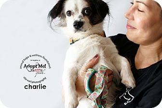 King Charles Spaniel Mix Dog for adoption in Sherman Oaks, California - Charlie