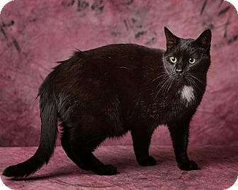 Domestic Shorthair Cat for adoption in Harrisonburg, Virginia - Scrappy