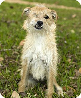 Norfolk Terrier/Cairn Terrier Mix Dog for adoption in Santa Fe, Texas - Hazel--so much love to give--S