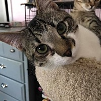 Domestic Shorthair Cat for adoption in Asheboro, North Carolina - Mystic