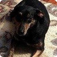 Adopt A Pet :: SAMMIE - Hampton, VA