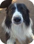 Border Collie Mix Dog for adoption in Manchester, Connecticut - bonsai ADOPTION PENDING