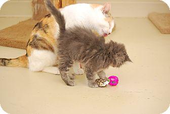 Russian Blue Kitten for adoption in Trevose, Pennsylvania - Charmin