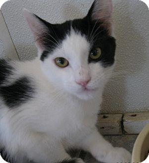 Domestic Shorthair Cat for adoption in Owenboro, Kentucky - JOKER
