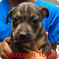 Adopt A Pet :: Sampson - Greencastle, NC
