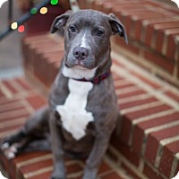 Adopt A Pet :: Midnight - Reisterstown, MD