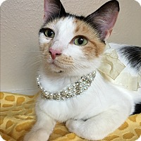 Calico Cat for adoption in Pasadena, Texas - Shania
